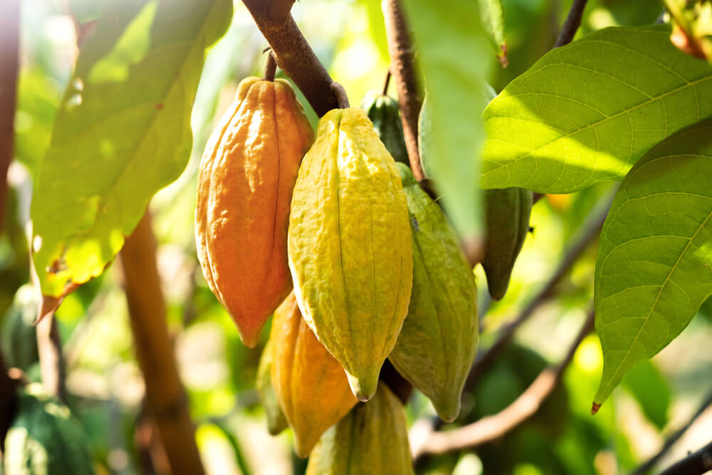 Cacao seeds on tree